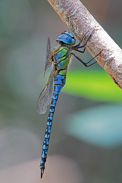 A Affinis male1.jpg